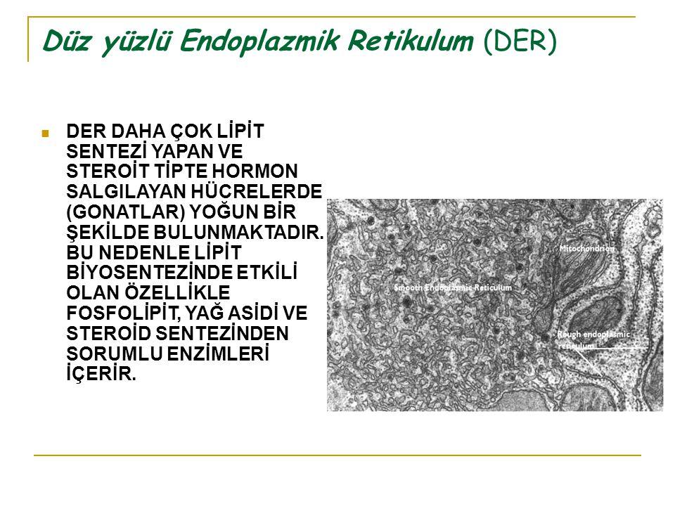 Düz yüzlü Endoplazmik Retikulum (DER) DER DAHA ÇOK LİPİT SENTEZİ YAPAN VE STEROİT TİPTE HORMON SALGILAYAN HÜCRELERDE (GONATLAR) YOĞUN BİR ŞEKİLDE BULUNMAKTADIR.