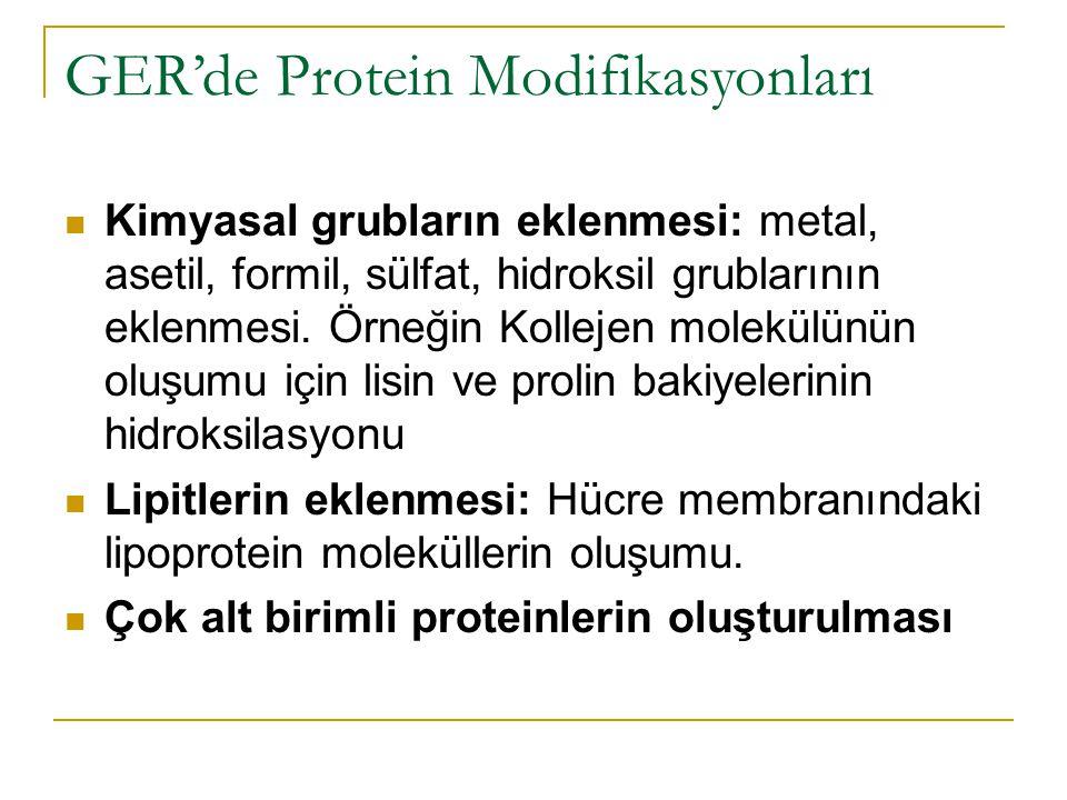 GER'de Protein Modifikasyonları Kimyasal grubların eklenmesi: metal, asetil, formil, sülfat, hidroksil grublarının eklenmesi.