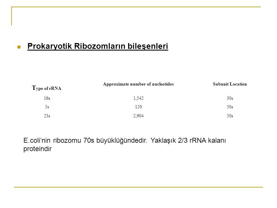 Prokaryotik Ribozomların bileşenleri T ype of rRNA Approximate number of nucleotidesSubunit Location 16s1,54230s 5s12050s 23s2,90450s E.coli'nin ribozomu 70s büyüklüğündedir.