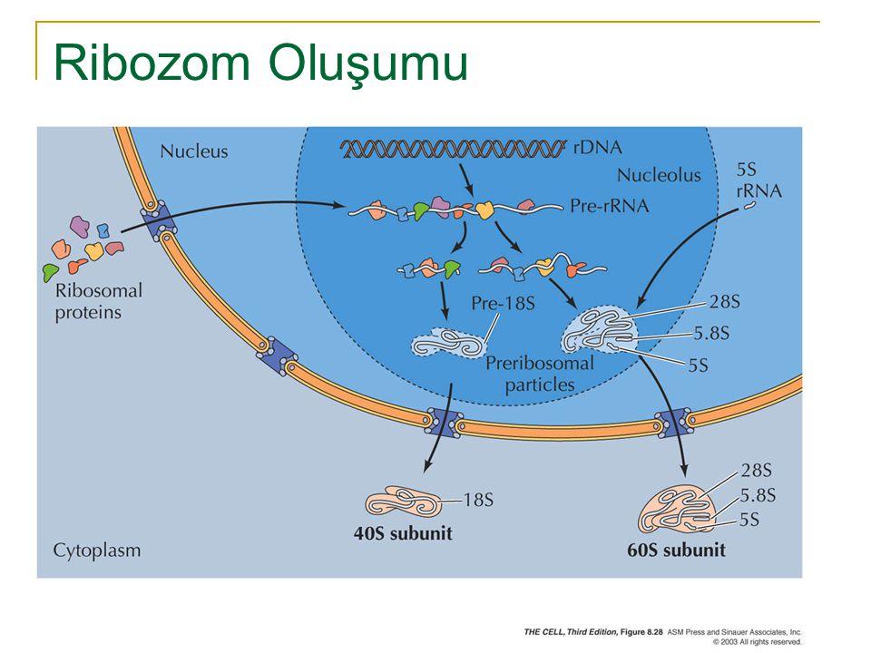 Ribozom Oluşumu