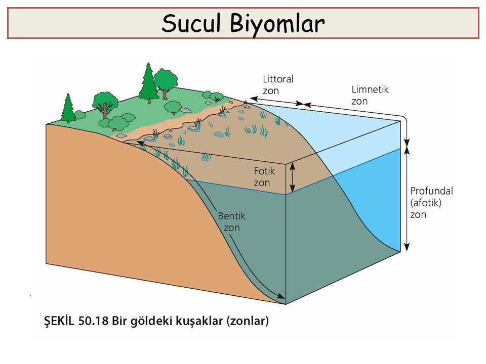 Sucul Biyomlar Sucul (akuatik) biyomlar, biyosferin en büyük kısmını teşkil eder. Bir çok sucul biyom, fiziksel ve kimyasal değişkenler bakımından bir