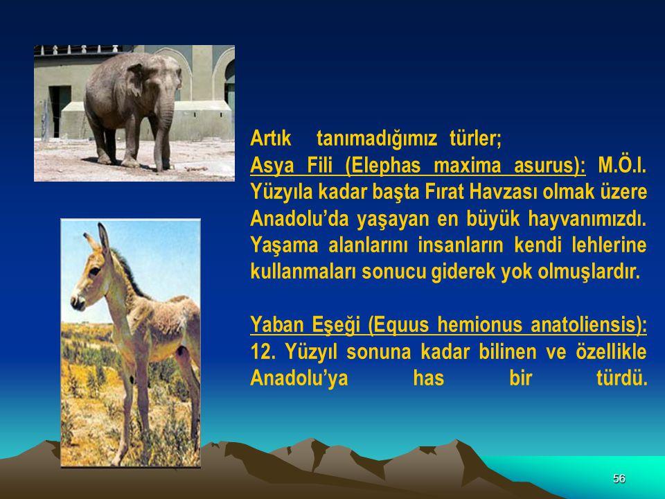 56 Artıktanımadığımıztürler; Asya Fili (Elephas maxima asurus): M.Ö.I. Yüzyıla kadar başta Fırat Havzası olmak üzere Anadolu'da yaşayan en büyük hayva