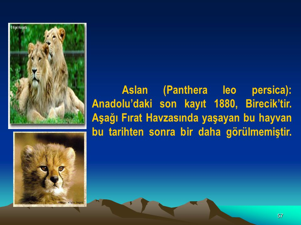 57 Aslan (Panthera leo persica): Anadolu'daki son kayıt 1880, Birecik'tir. Aşağı Fırat Havzasında yaşayan bu hayvan bu tarihten sonra bir daha görülme