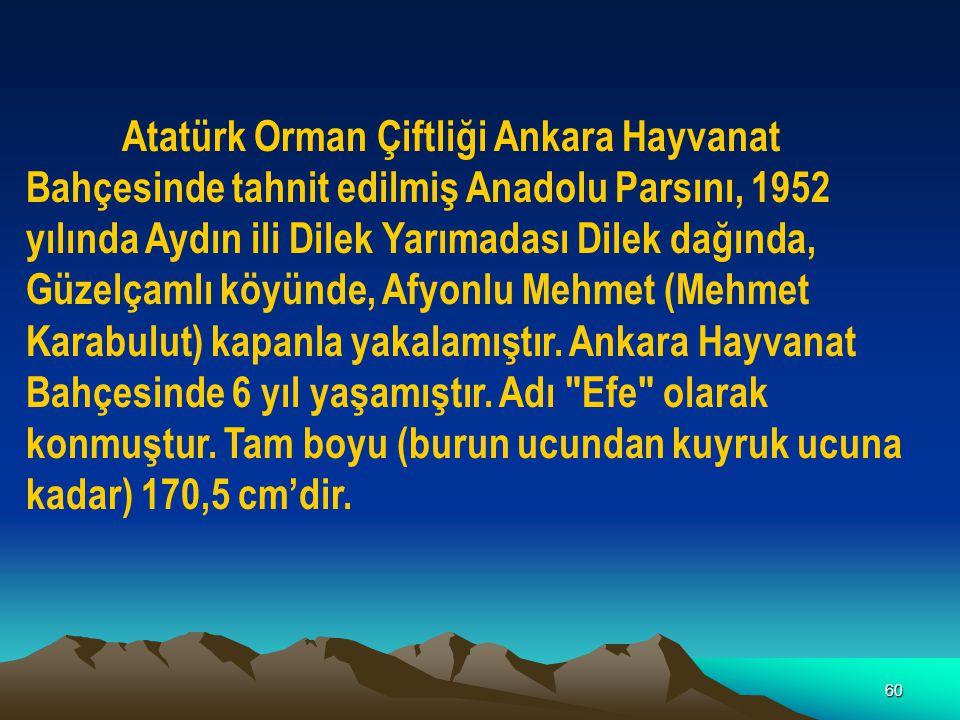 60 Atatürk Orman Çiftliği Ankara Hayvanat Bahçesinde tahnit edilmiş Anadolu Parsını, 1952 yılında Aydın ili Dilek Yarımadası Dilek dağında, Güzelçamlı