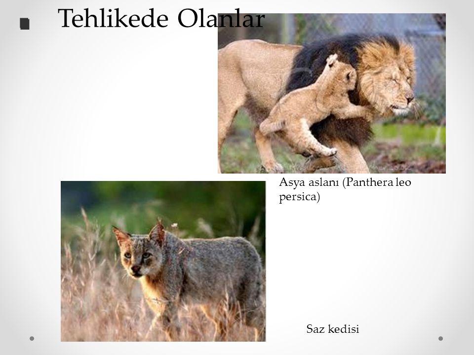 Saz kedisi Asya aslanı (Panthera leo persica).. Tehlikede Olanlar