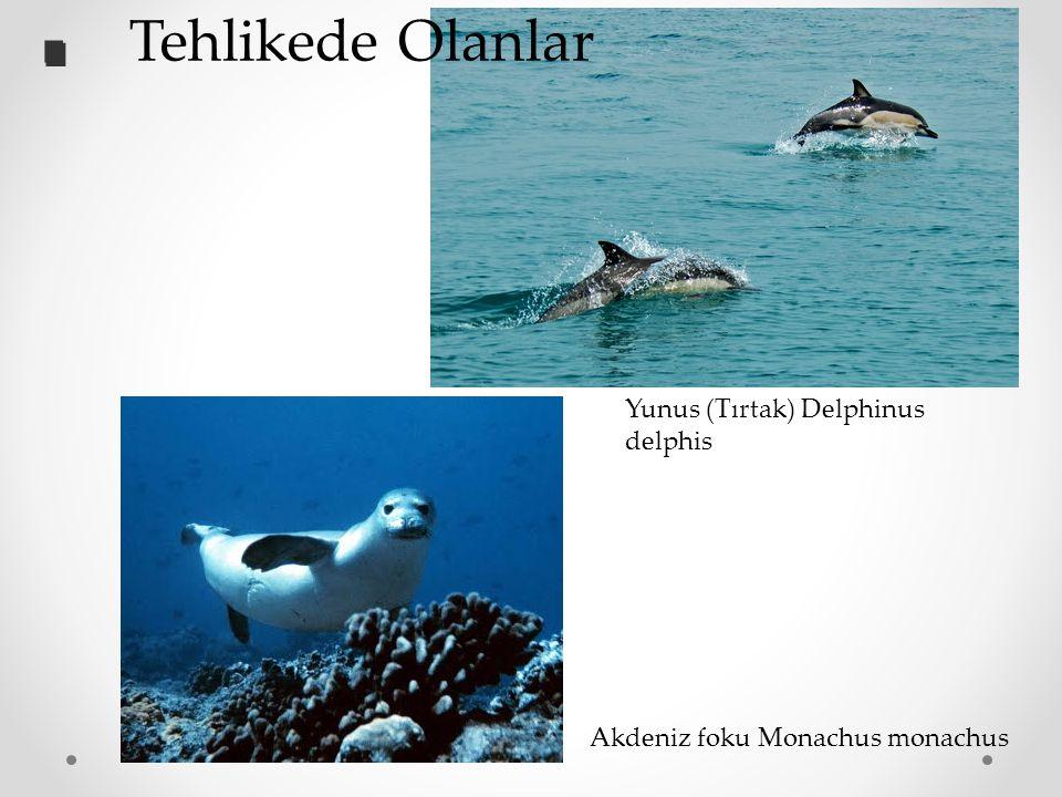 Akdeniz foku Monachus monachus Yunus (Tırtak) Delphinus delphis.. Tehlikede Olanlar