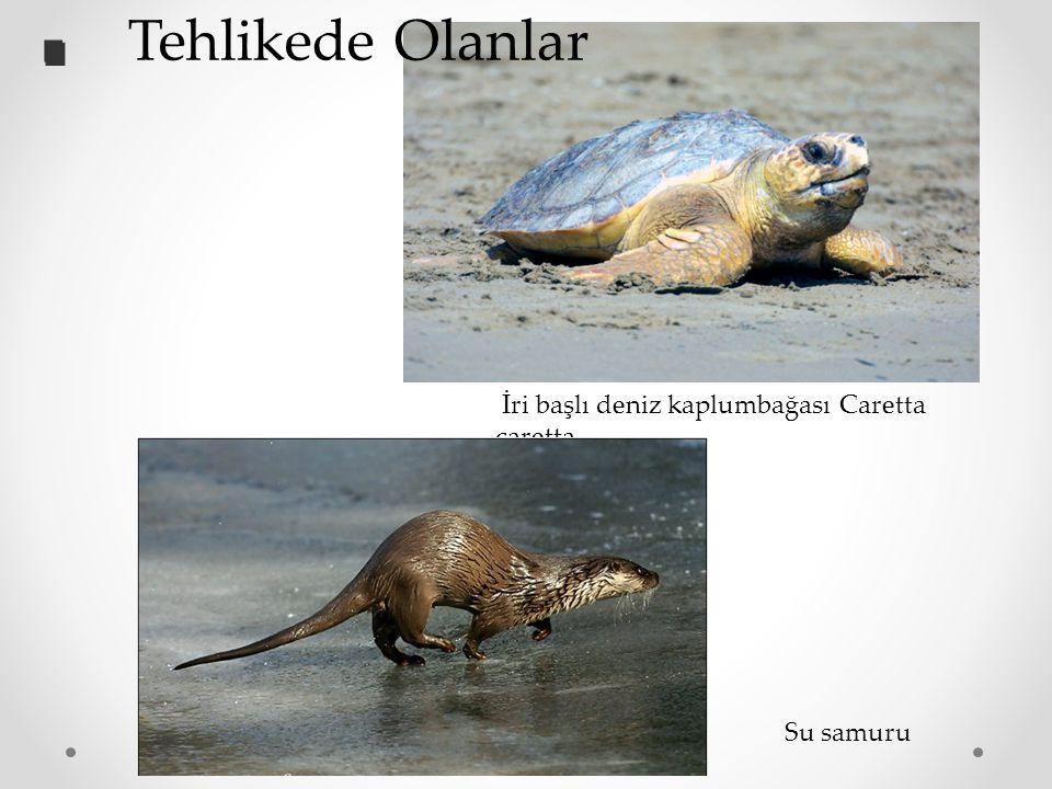 Su samuru İri başlı deniz kaplumbağası Caretta caretta.. Tehlikede Olanlar