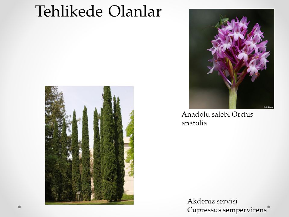 Akdeniz servisi Cupressus sempervirens Anadolu salebi Orchis anatolia Tehlikede Olanlar