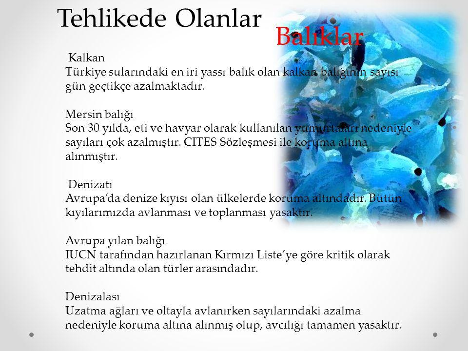 Kalkan Türkiye sularındaki en iri yassı balık olan kalkan balığının sayısı gün geçtikçe azalmaktadır.