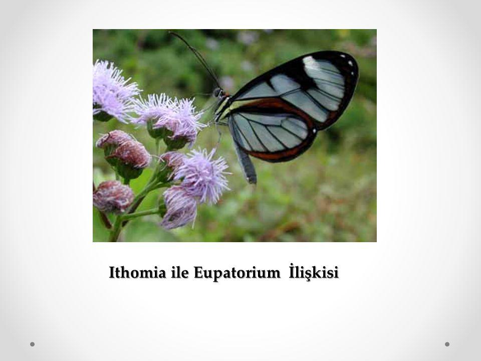 Ithomia ile Eupatorium İlişkisi