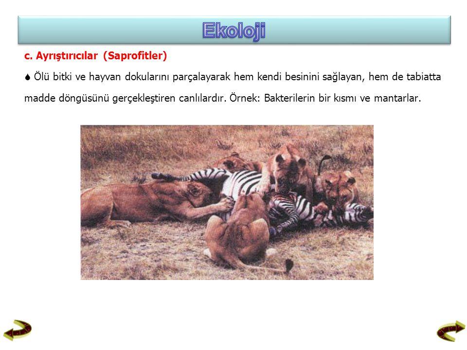 c. Ayrıştırıcılar (Saprofitler)  Ölü bitki ve hayvan dokularını parçalayarak hem kendi besinini sağlayan, hem de tabiatta madde döngüsünü gerçekleşti