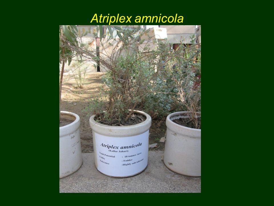 Atriplex amnicola