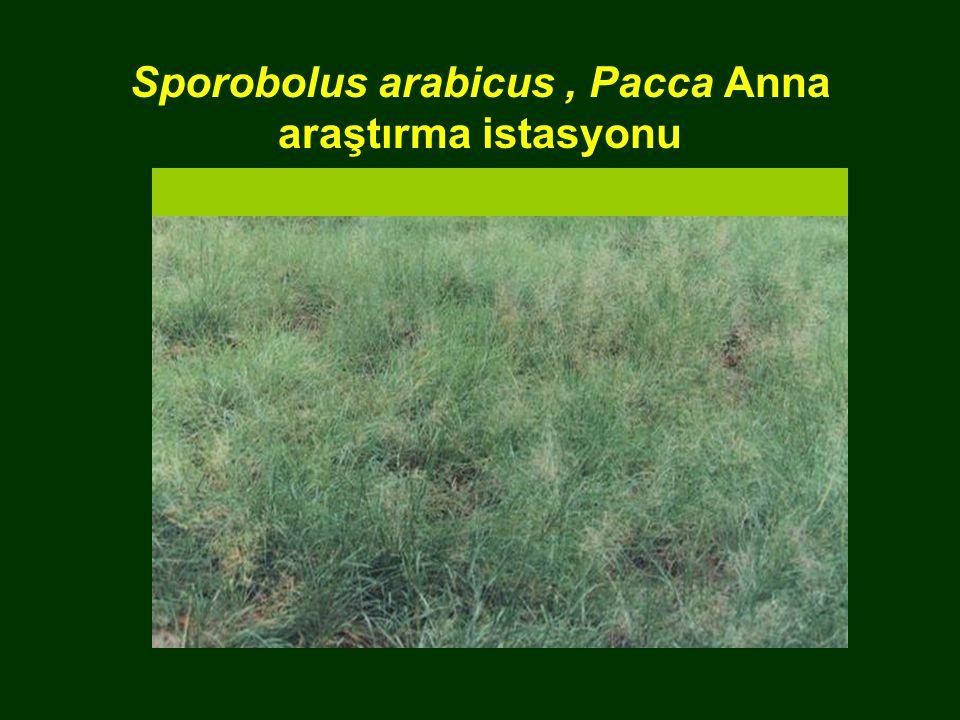 Sporobolus arabicus, Pacca Anna araştırma istasyonu
