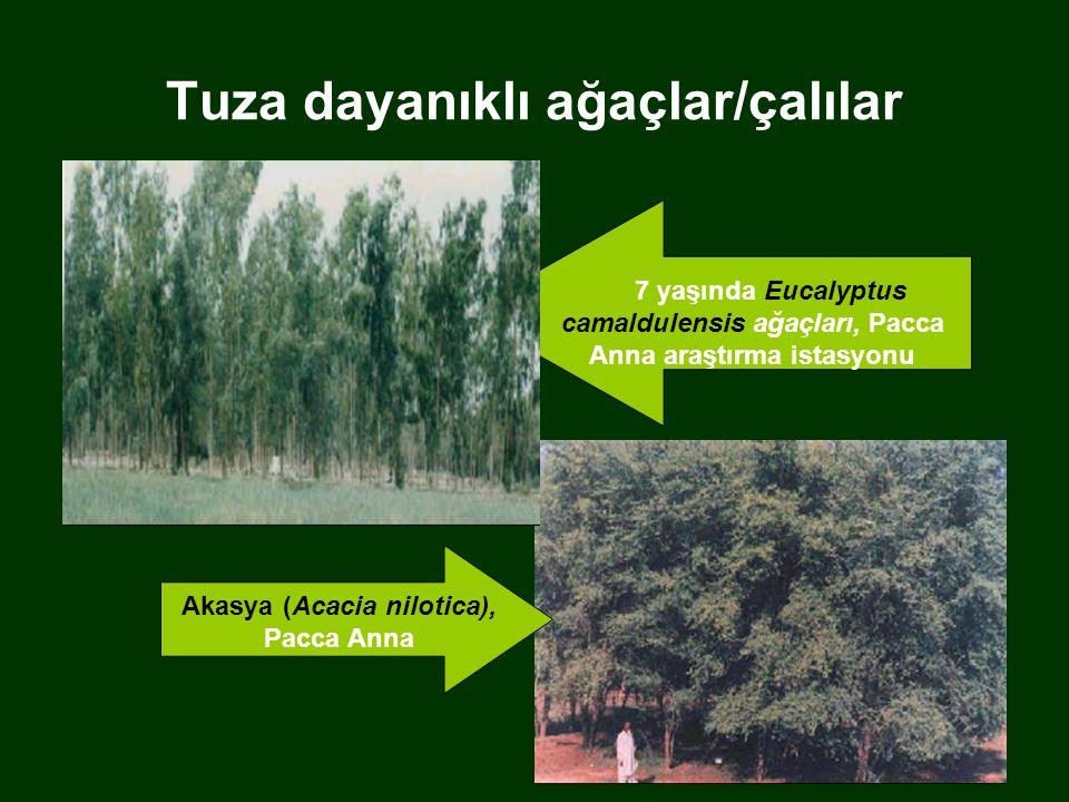 Tuza dayanıklı ağaçlar/çalılar Akasya (Acacia nilotica), Pacca Anna 7 yaşında Eucalyptus camaldulensis ağaçları, Pacca Anna araştırma istasyonu