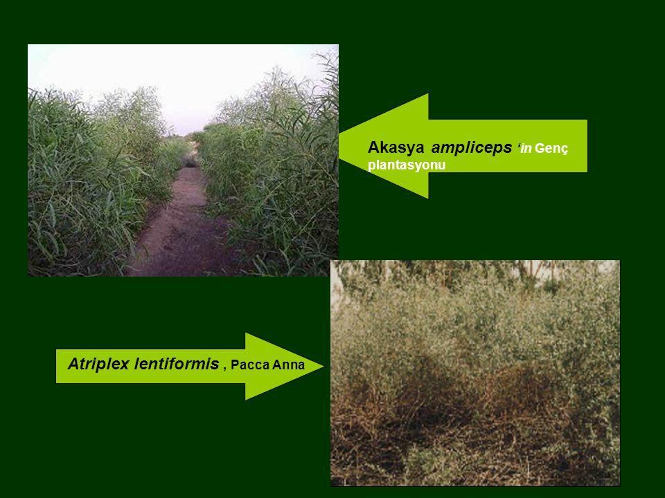 Akasya ampliceps 'in Genç plantasyonu Atriplex lentiformis, Pacca Anna