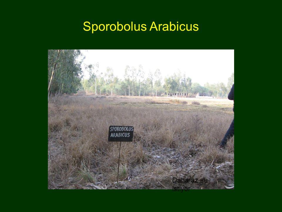 Sporobolus Arabicus Daha az su istiyor