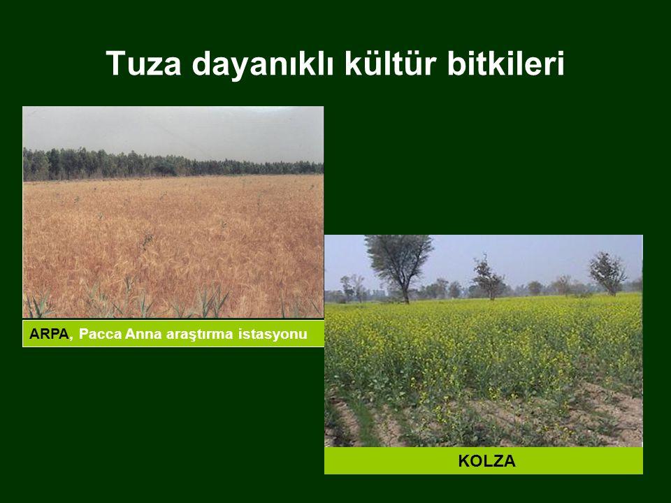 Tuza dayanıklı kültür bitkileri ARPA, Pacca Anna araştırma istasyonu KOLZA