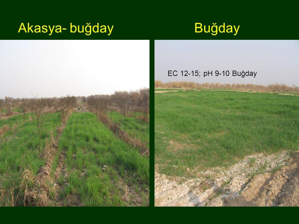 Akasya- buğday Buğday Akasya-buğday EC 12-15; pH 9-10 Buğday