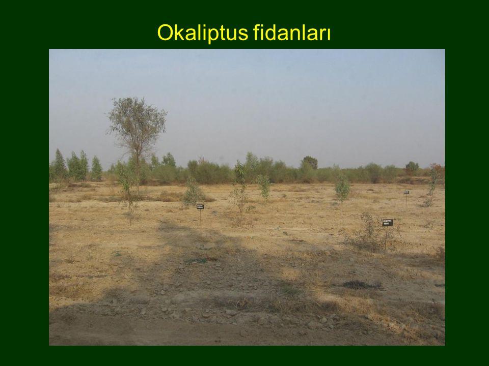 Okaliptus fidanları