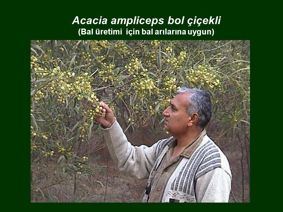 Acacia ampliceps bol çiçekli (Bal üretimi için bal arılarına uygun)