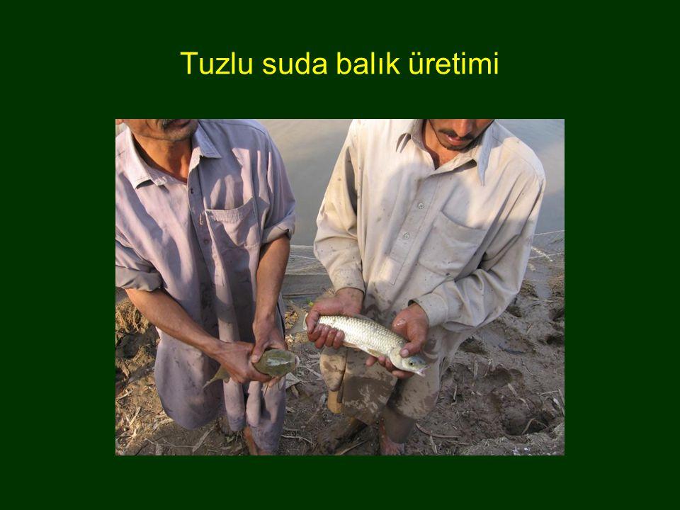 Tuzlu suda balık üretimi