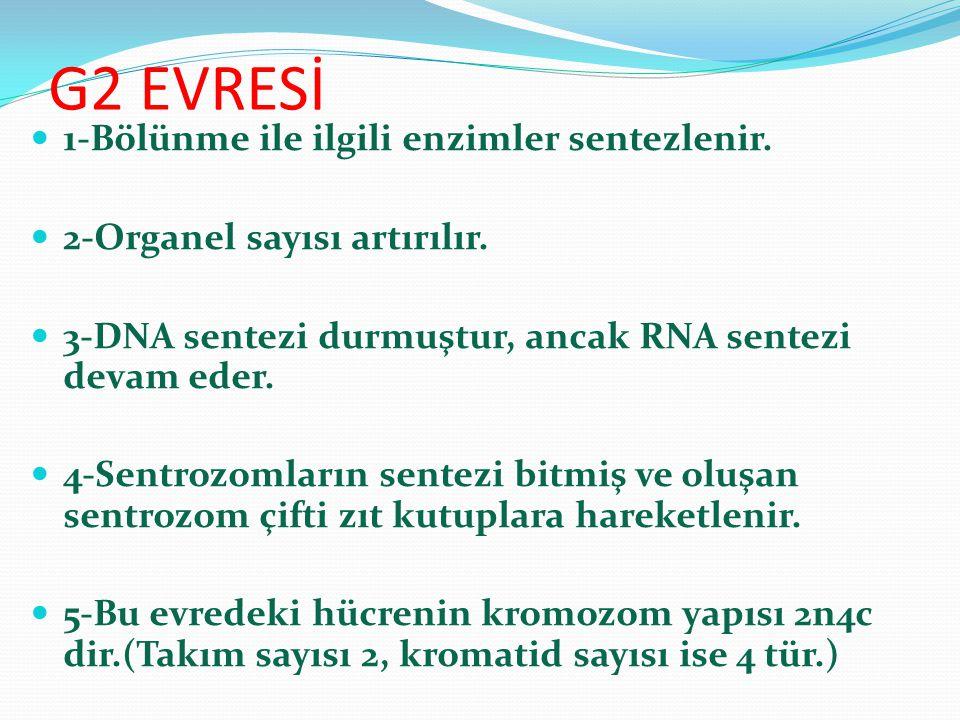 G2 EVRESİ 1-Bölünme ile ilgili enzimler sentezlenir. 2-Organel sayısı artırılır. 3-DNA sentezi durmuştur, ancak RNA sentezi devam eder. 4-Sentrozomlar