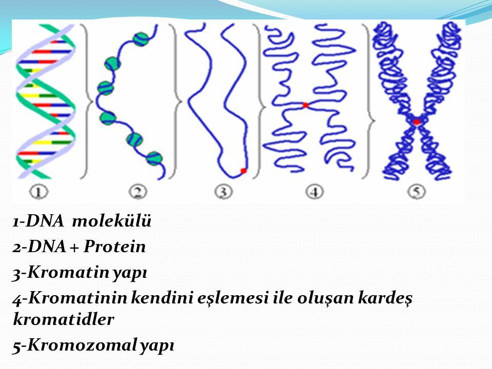 1-DNA molekülü 2-DNA + Protein 3-Kromatin yapı 4-Kromatinin kendini eşlemesi ile oluşan kardeş kromatidler 5-Kromozomal yapı