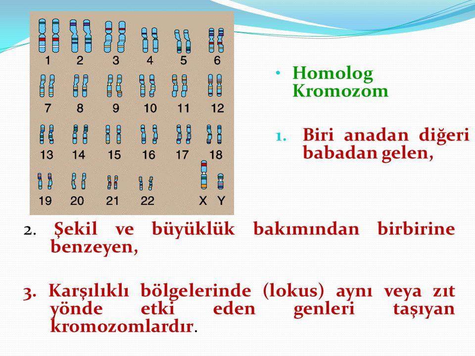 Homolog Kromozom 1. Biri anadan diğeri babadan gelen, 2. Şekil ve büyüklük bakımından birbirine benzeyen, 3. Karşılıklı bölgelerinde (lokus) aynı veya