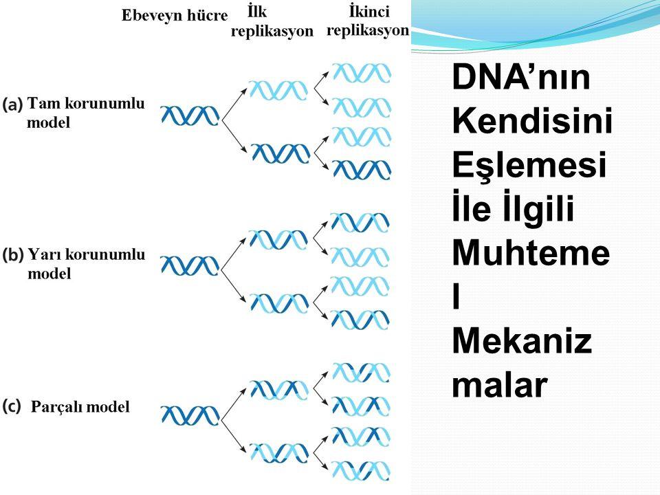 DNA'nın Kendisini Eşlemesi İle İlgili Muhteme l Mekaniz malar