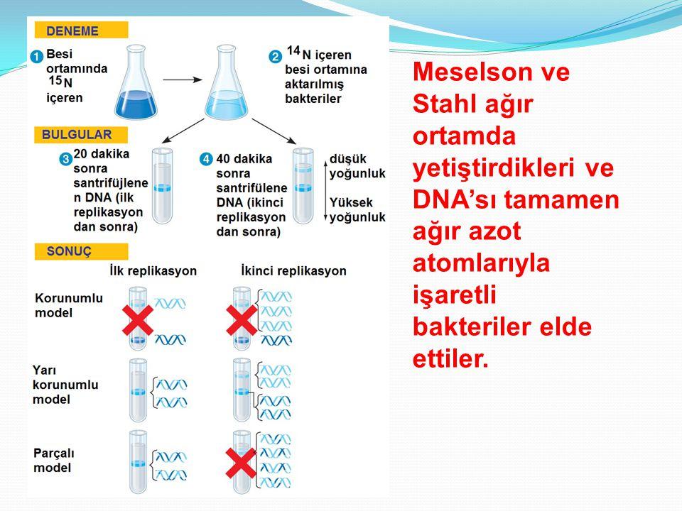 Meselson ve Stahl ağır ortamda yetiştirdikleri ve DNA'sı tamamen ağır azot atomlarıyla işaretli bakteriler elde ettiler.