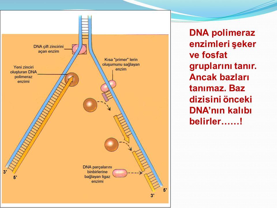 DNA polimeraz enzimleri şeker ve fosfat gruplarını tanır. Ancak bazları tanımaz. Baz dizisini önceki DNA'nın kalıbı belirler……!