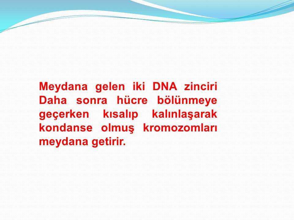 Meydana gelen iki DNA zinciri Daha sonra hücre bölünmeye geçerken kısalıp kalınlaşarak kondanse olmuş kromozomları meydana getirir.