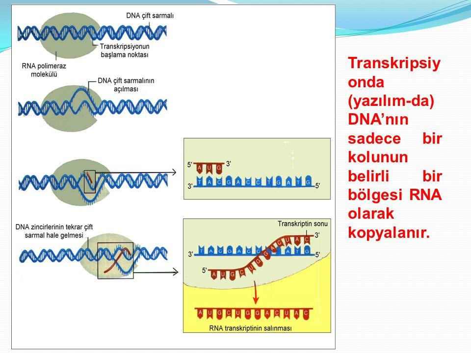 Transkripsiy onda (yazılım-da) DNA'nın sadece bir kolunun belirli bir bölgesi RNA olarak kopyalanır.