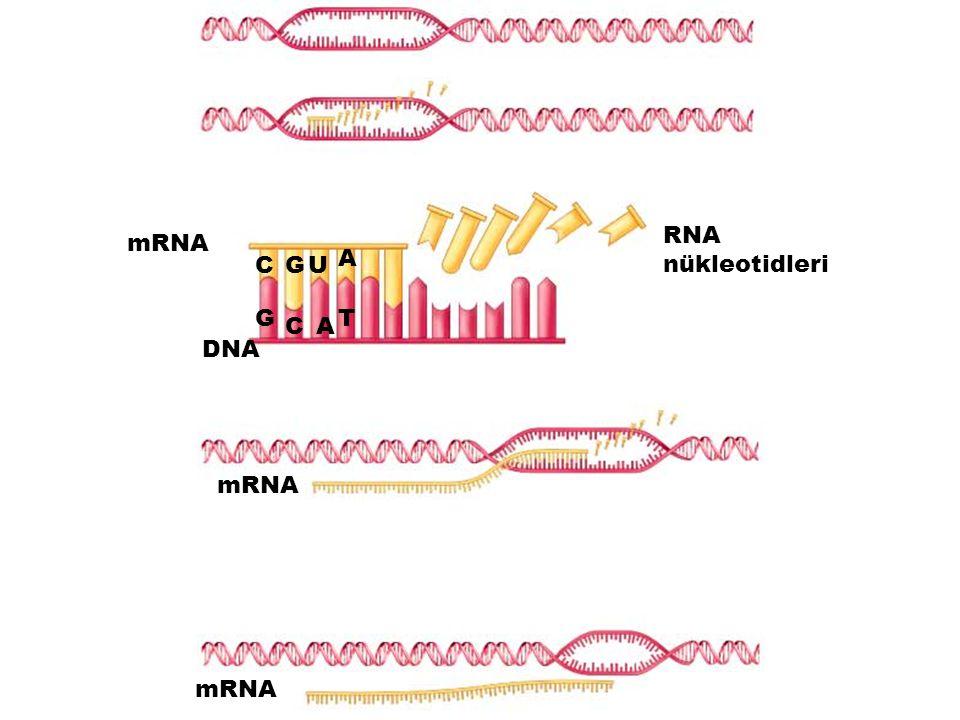 mRNA DNA RNA nükleotidleri C C G G U A A T