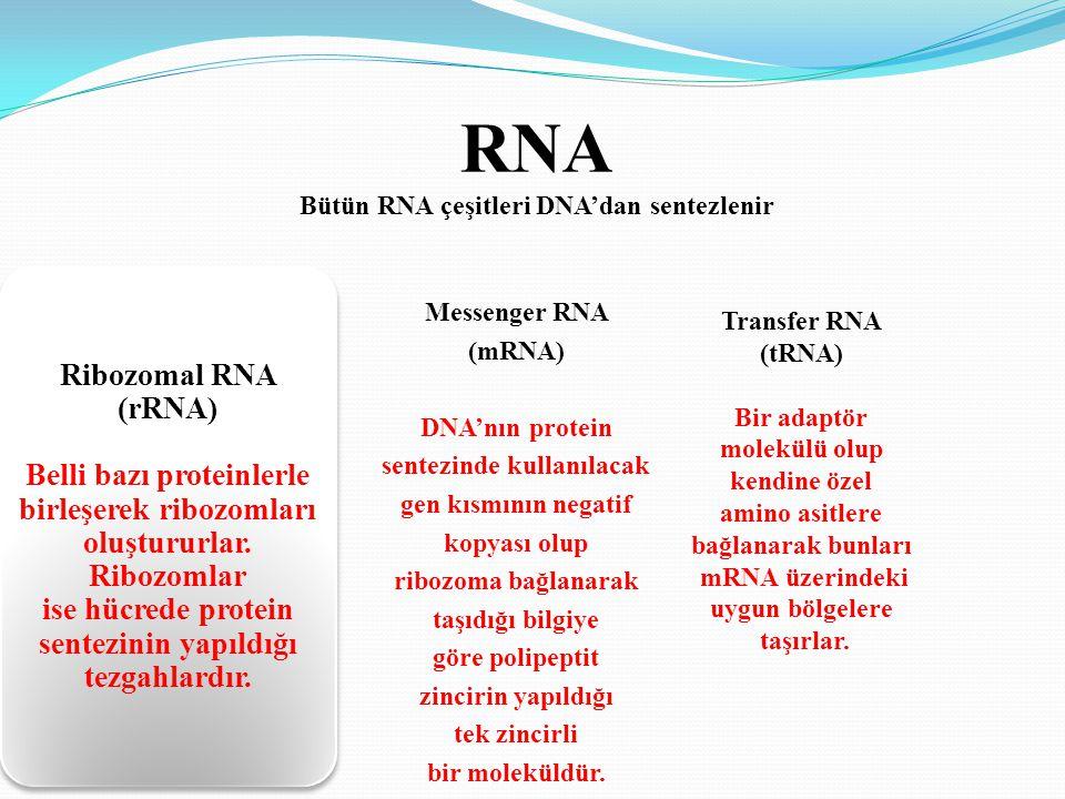 RNA Bütün RNA çeşitleri DNA'dan sentezlenir Ribozomal RNA (rRNA) Belli bazı proteinlerle birleşerek ribozomları oluştururlar. Ribozomlar ise hücrede p