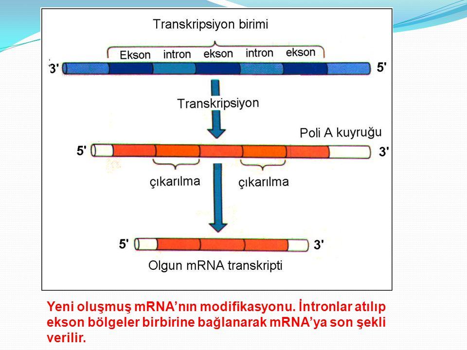Yeni oluşmuş mRNA'nın modifikasyonu. İntronlar atılıp ekson bölgeler birbirine bağlanarak mRNA'ya son şekli verilir.