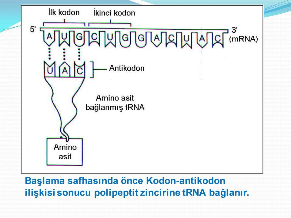 Başlama safhasında önce Kodon-antikodon ilişkisi sonucu polipeptit zincirine tRNA bağlanır.