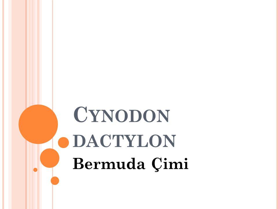 C YNODON DACTYLON Bermuda Çimi
