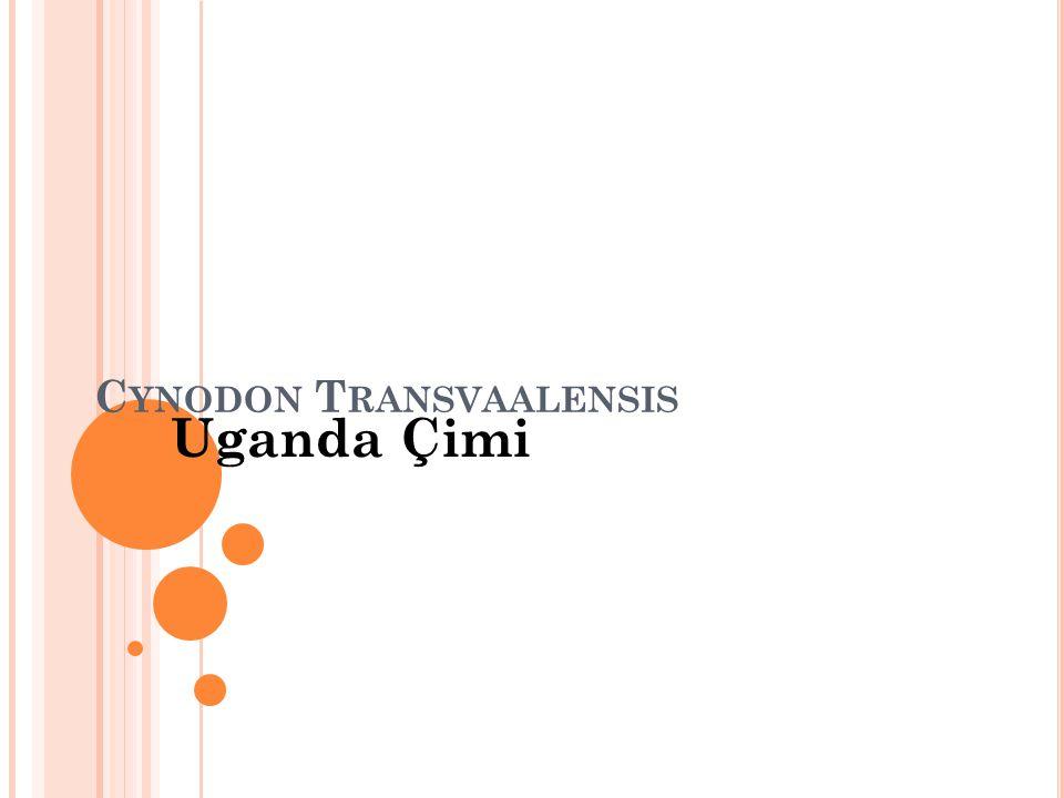 C YNODON T RANSVAALENSIS Uganda Çimi