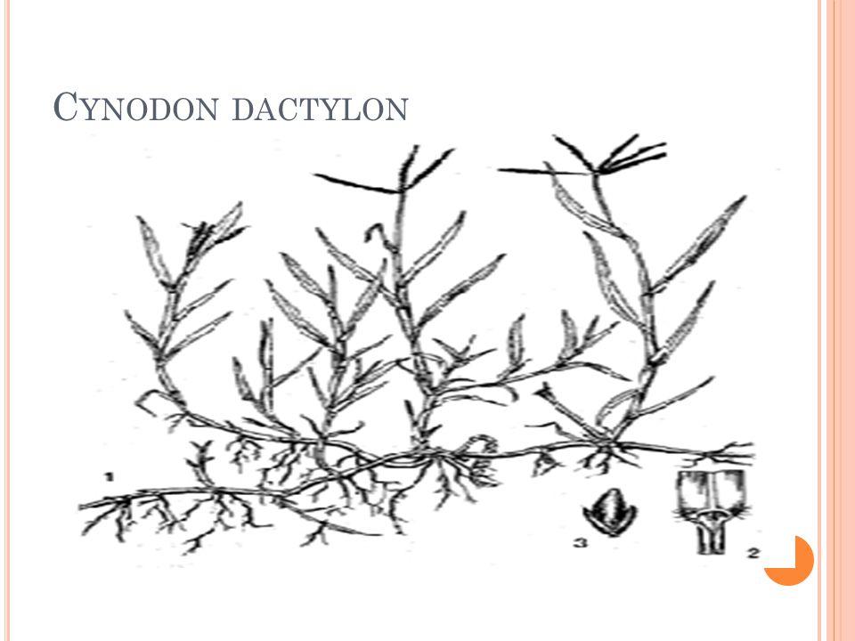 C YNODON DACTYLON