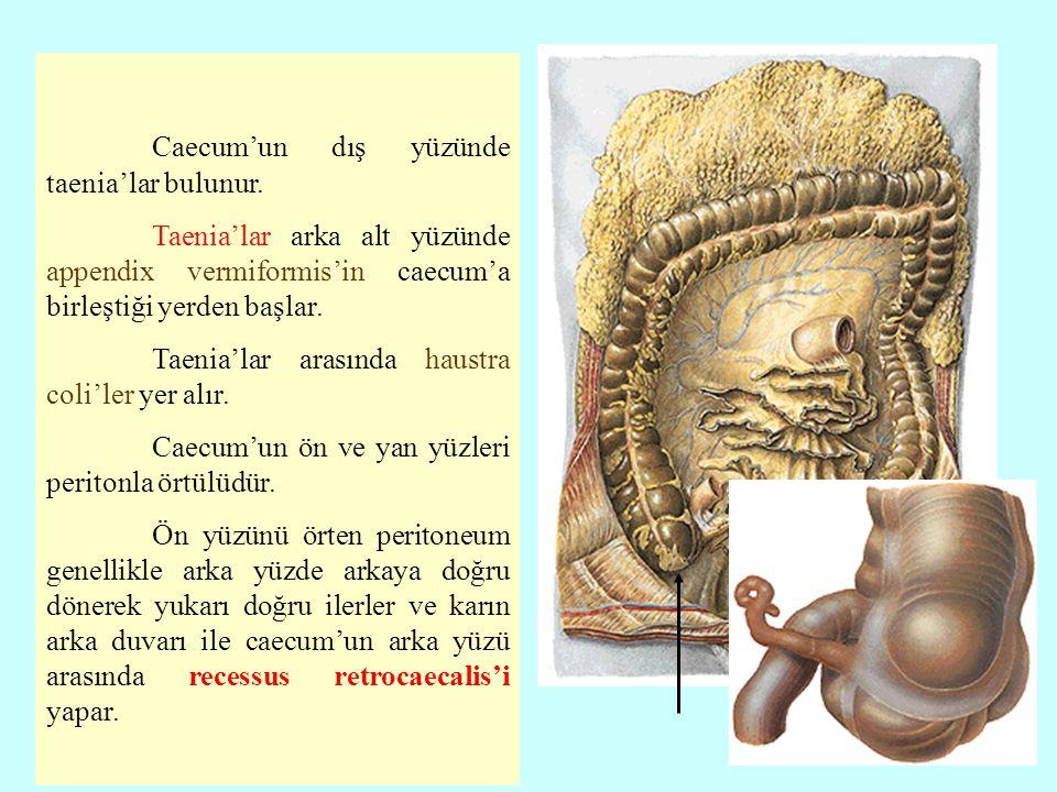 Caecum'un dış yüzünde taenia'lar bulunur. Taenia'lar arka alt yüzünde appendix vermiformis'in caecum'a birleştiği yerden başlar. Taenia'lar arasında h