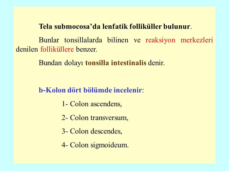 Tela submocosa'da lenfatik folliküller bulunur. Bunlar tonsillalarda bilinen ve reaksiyon merkezleri denilen folliküllere benzer. Bundan dolayı tonsil