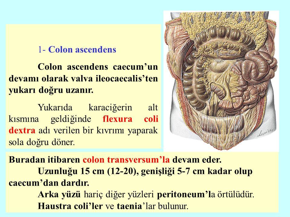 1- Colon ascendens Colon ascendens caecum'un devamı olarak valva ileocaecalis'ten yukarı doğru uzanır. Yukarıda karaciğerin alt kısmına geldiğinde fle