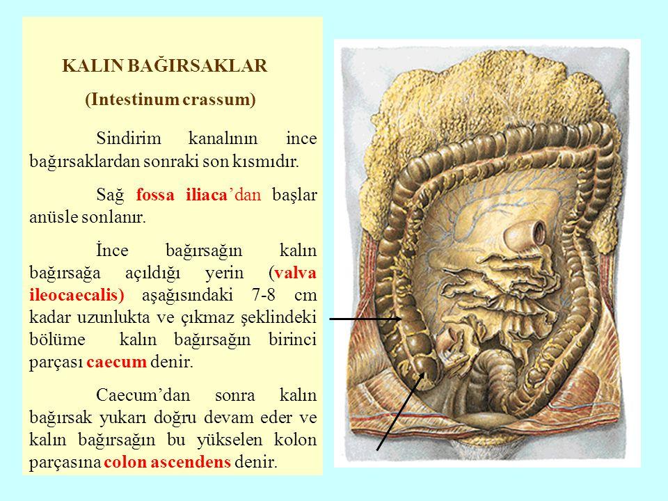 KALIN BAĞIRSAKLAR (Intestinum crassum) Sindirim kanalının ince bağırsaklardan sonraki son kısmıdır. Sağ fossa iliaca'dan başlar anüsle sonlanır. İnce