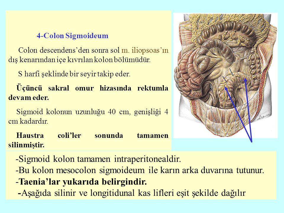 4-Colon Sigmoideum Colon descendens'den sonra sol m. iliopsoas'ın dış kenarından içe kıvrılan kolon bölümüdür. S harfi şeklinde bir seyir takip eder.