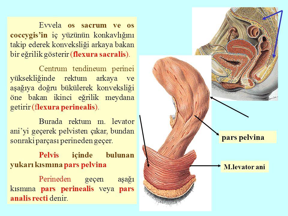Evvela os sacrum ve os coccygis'in iç yüzünün konkavlığını takip ederek konveksliği arkaya bakan bir eğrilik gösterir (flexura sacralis). Centrum tend