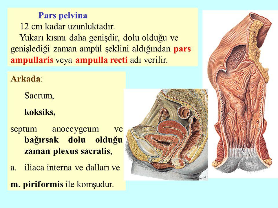 Arkada: Sacrum, koksiks, septum anoccygeum ve bağırsak dolu olduğu zaman plexus sacralis, a.iliaca interna ve dalları ve m. piriformis ile komşudur. P