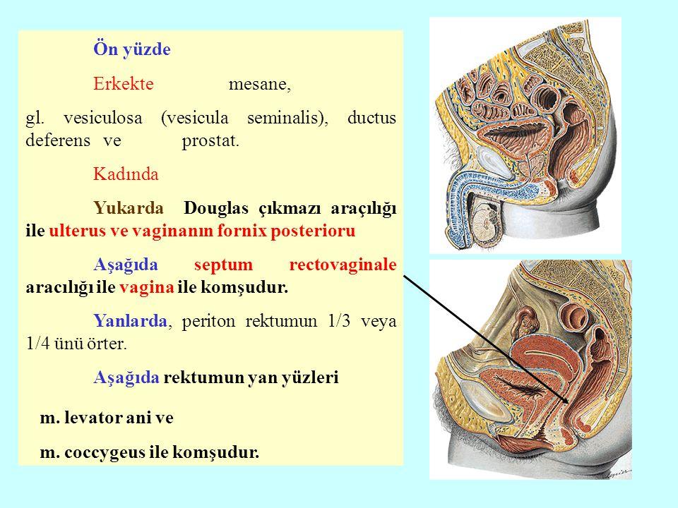 Ön yüzde Erkekte mesane, gl. vesiculosa (vesicula seminalis), ductus deferens ve prostat. Kadında Yukarda Douglas çıkmazı araçılığı ile ulterus ve vag