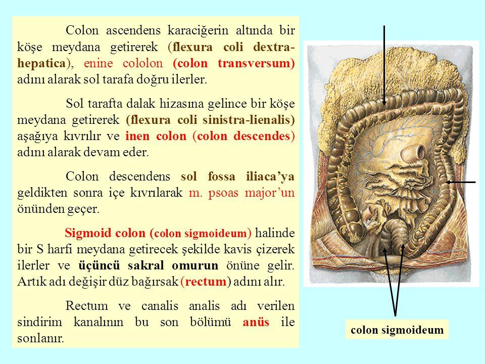 Colon ascendens karaciğerin altında bir köşe meydana getirerek (flexura coli dextra- hepatica), enine cololon (colon transversum) adını alarak sol tar