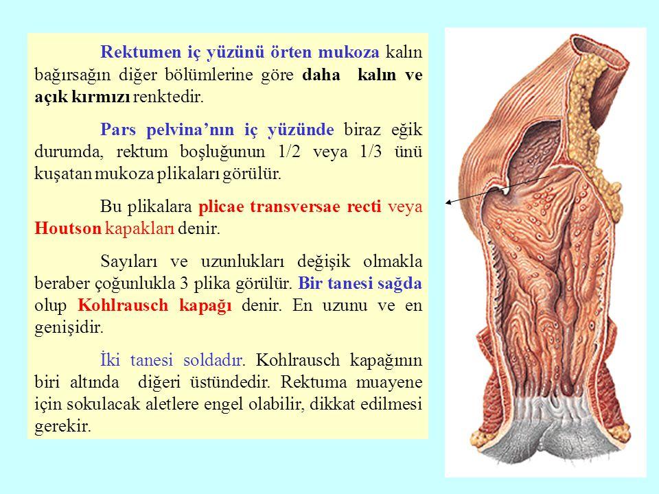 Rektumen iç yüzünü örten mukoza kalın bağırsağın diğer bölümlerine göre daha kalın ve açık kırmızı renktedir. Pars pelvina'nın iç yüzünde biraz eğik d
